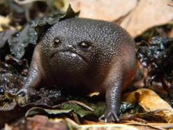 The Black Rain Frog (Breviceps fuscus) is a species of frog in the Brevicipitidae family. It is endemic to South Africa. Its natural habitats are temperate forests and Mediterranean-type shrubby vegetation. It is threatened by habitat loss: Black Rain, An