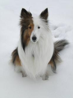 The Border Collie is One of the 5 Best Dog Breeds for Children and Small Kids.: Animals, Border Collie, Dogs, Rough Collie, Pet, Shetland Sheepdog, Sheltie, Famous Dog