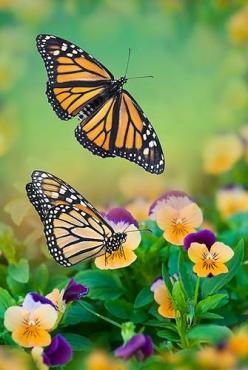 The Butterfly: Monarch Butterfly, Beautiful Butterflies, Nature, Butterflies, Monarch Butterflies, Moth, Animal