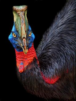 The cassowaries are ratites, very large flightless birds in the genus Casuarius native to the tropical forests of New Guinea, nearby islands and northeastern Australia.There are three extant species recognized today.: Australian Bird, Animals, Large Fligh