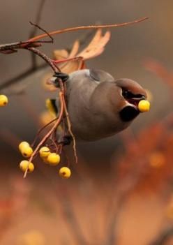 The Cedar Waxwing bird (Bombycilla cedrorum) It is a medium sized, mostly brown, gray, and yellow bird named for its red wax-like wing tips. It is a native of North and Central America, breeding in open wooded areas in southern Canada and wintering in the