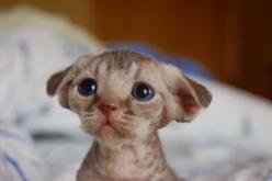 "The cutest devon rex kitten ever! Oh my goodness, this lil thing looks like the small super cute alien pet off ""Flight of the Navigator""!: Animal Pictures, Cute Cats, Pet, Devon Rex Cats, Kittens, Dog, Kitty"