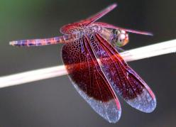 The Dragonfly and its Symbolic Meaning: Butterflies Dragonflies, Animals, A Dragonflies, Dragonflies Butterflies, Beautiful Insects, Butterfly Dragonfly Moth, Dragonfly Tattoo, Red Dragonfly