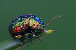 The Extremely Rare Rainbow Leaf Beetle Is A Major Treat For The Eyes - The Featured Creature: Animals, Nature, Color, Rainbow Leaf, Rainbows, Leaf Beetle, Beetles