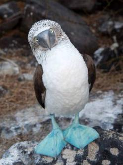 The famous Blue-footed booby from the Galapagos Islands. I will go here before i die. I want to see the amazing wildlife that is on this island: Animals, Nature, Blue Footed Booby, Creature, Galapagos Islands, Burt Johnson, Birds