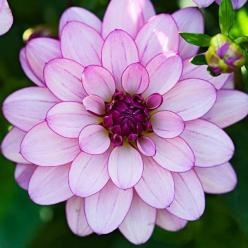 The five-foot-tall 'Lauren Michele' dahlia boasts waterlily blooms with pale lavender petals and dark undersides. | Photo: Lee Avison/GAP Photos | thisoldhouse.com: Michele Dahlia, Dahlias, Flowers Plants, Gorgeous Flower, Beautiful Flowers, Prett