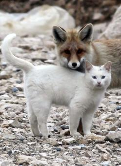 The fox and the Van cat are best friends • photo: milliyet.com.tr • more pics & video ☛ http://blog.catmoji.com/2012/12/cat-of-the-week-15-the-van-cat-who-befriends-a-fox/: Cat Friendship, Kitty Cat, Cat Best Friends, Animals Friends, Friendship Pics,