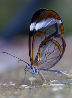 The glasswinged butterfly, another one of God's beautiful creations!!: Alex Chu, Glasswinged Butterfly, Flutterby, Photo, Animal, Alex O'Loughlin
