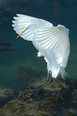 The Great Egret, also known as Great White Egret, Common Egret, Large Egret or Great White Heron, is a large, widely-distributed egret. Wikipedia              Scientific name: Ardea alba: Picture, Egret Photo, Greg Magee, Wild Animals, Wings, Beautiful Bi