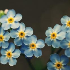 The gunmetal background color balances the blue and yellow of the forget-me-not. Could be a lovely combo for a home office.: Favorite Flowers, Blue Flowers, Flowers, Garden, Home Offices, Color Balance
