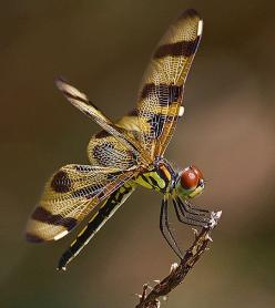 The Halloween Pennant Dragonfly is commonly found in Central and east North America, particularly in Florida. (Photo by Pedro Lastra): Pennant Dragonfly, Halloween Dragonfly, Insects, Photo, Animal, Dragonflies