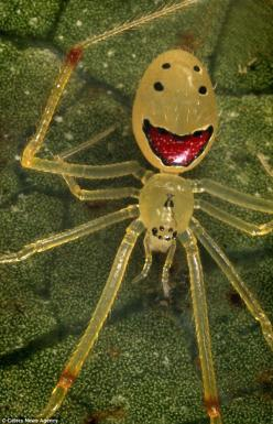 The Happy-Face spider is found in the rainforests of the Hawaiian islands. The tiny arachnid is just a few millimetres big and said to be harmless to humans: Happy Faces, Cutest Bugs, Arachnids Spiders, Happy Face Spider, Hawaiian Islands, Real Spider, Ha