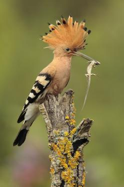The Hoopoe is a colorful bird that is found across Afro-Eurasia, notable for its distinctive 'crown' of feathers. It is the only extant species in the family Upupidae.: Andres Miguel, Beautiful Birds, Photo, Animal