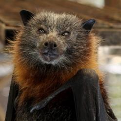 The largest known bat in the world, the flying fox, has a wingspan of nearly 5 feet!: Flying Fox Bat, Animal Bats, Giant Bat, Going Batty, Bats Animal, Giant Flying, Bats Five, Flying Foxes, Awwwww Bats