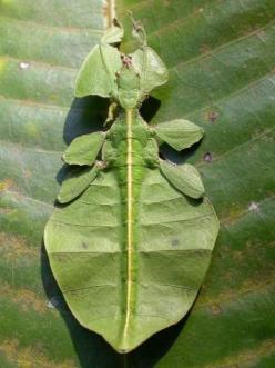 The Leaf Insect, also known as a Walking Leaf, is the most successful camouflager in the animal kingdom.: Leaf Bug, Animals, Bugs Life, Creatures, Insects, Leaves, Camouflage