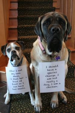 "The Little One said, ""After I eat my own meal, I steal her bowl of food so I can have two meals."" ""I should have a species change. I am not really a dog, I am a chicken"" Said the Big One: Dog Shame, Dogs, Dog Shaming, Bull Mastiff, Funnies, Animal Shaming"