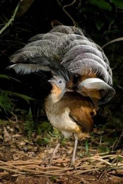 The Lyrebird, Australia - can mimic almost any sound, even car alarms and camera shutters.: Car Alarms, Australian Birds, Beautiful Birds, Camera Shutters, Animal