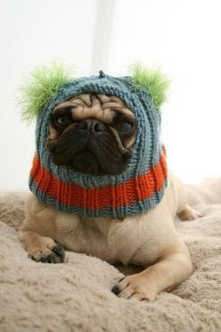 The more you look at it the more you laugh.  Not this dog.  No way.  No how.  Just another reason to live in California.: Pug Hat, Animals, Funny Dogs, Pets, Poor Dog, Knitted Hats, Pug Dogs, Pugs