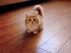 the most adorable cat ever.   ...........click here to find out more     http://googydog.com: Munchkin Cat, Midget Cat, Munchkin Kitten, Google Search, Adorable Kitten, Kittens Cats, Kitty, Cats Kittens, Animal