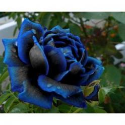 The most beautiful flower I have ever seen! Midnight Supreme Rose Bush Flower Seeds 10 Stratisfied Seeds: Beautiful Flower, Black Rose, Rose Bush, Midnight Supreme, Flower Seeds, Flowers, Garden, Blue Roses