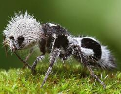 The panda ant, actually a wingless wasp, is known for it's painful sting despite it's cute appearance: Pandaant, Animals, Creature, Ants, Insects, Pandas, Wingless Wasp