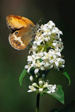 The Pearly Heath (Coenonympha arcania) is a butterfly species belonging to the family Nymphalidae. It can be found in Central Europe. It resembles Coenonympha hero. The butterflies fly in one generation from May to August. The larvae feed on various grass