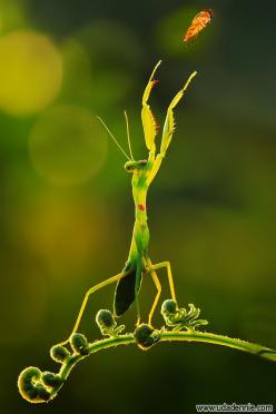 the praying mantis  can see movement  up to 60 feet away: Photos, It S Mine, Green, Dance Photo, Insects, Itsmine, Praying Mantis, Animal