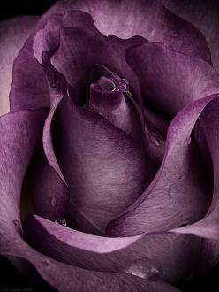 The purple of my passion ~ spreads its petals ~ to drink of your watery gems ~ Dorianna (I would love to have one of these in my rose garden): Lavender Rose, Color, Beautiful, Purple Passion, Flowers, Purple Roses, Garden, Purple Flower