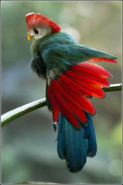 The Red-crested Turaco (Tauraco erythrolophus) is a turaco, a group of African near-passerines. It is a fruit-eating bird endemic to western Angola. Its call sounds somewhat like a jungle monkey.: Animals, Earl Reinink, Red Crested Turaco, Beautiful Birds