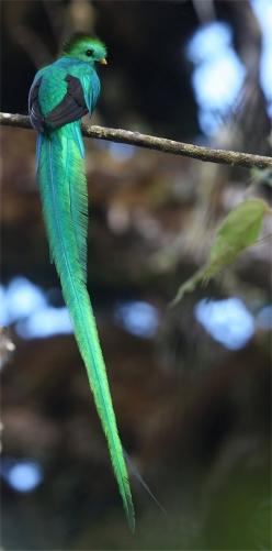 The RESPLENDENT QUETZAL is found from Chiapas, Mexico to western Panama in the montane forests.  The body of the Quetzal is green-gold to blue- violet in color and iridescent.  The breast of this bird is red.: Animals, Nature, Color, Quetzal Bird, Costa R