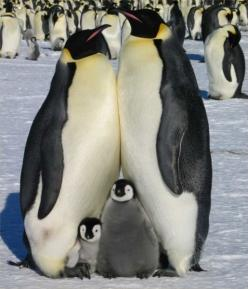The Romantic Life Of Penguins... Somehow this photo gives me the impression that this family practically begged for the photographer to snap a family portrait of themselves. Cute!: Animals, Family Portraits, Penguins, Happy Family, Family Photo, Families,