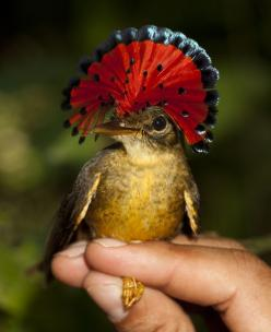 The Royal Flycatcher.  Native to Central  South America, this little bird has a crazy head plume!!  Oddly enough, this beautiful ( slightly silly looking) fan is rarely displayed like this.  It's usually flat against the top of the head.: Royals, Bird