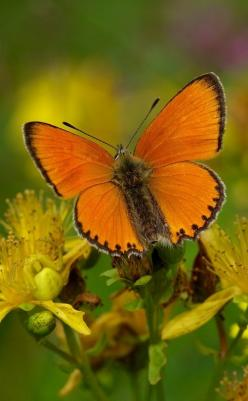 The Scarce Copper (Lycaena virgaureae). The lower surfaces of the back wings are yellowish and have only a few black dots; there are characteristic white marks the immediate vicinity of these. The species exhibits one kind of sexual dimorphism: male butte