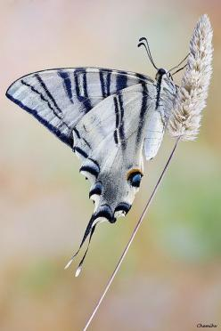 The Scarce Swallowtail butterfly (Iphiclides podalirius): Beautiful Butterflies, Butterflies Dragonflies Moths, Butterfly Iphiclides, Flutterby, Swallowtail Butterfly, Photo