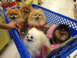 The Shopping Cart Full of Poms No way could I ever take me 5 schnauzers into a store all together!: Pom Poms, Pompoms, Animals, Dogs, Dream, Shopping Carts, Adorable Pomeranians, Pets Pomeranians