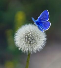 ...the stunning blue butterfly & the dandelion: Beautiful Butterflies, Butterfly, Blue Butterfly, Nature, Flutterby, Dandelions, Flowers, Photo, Animal