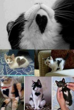 The sweetest animal in the world... :-): Kitty Cats, Animals, Heart Cats, Heart Kitties, Crazy Cat, Kittens, Valentine, Cat Lady