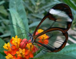 The transparent butterfly Greta Oto, better known as the Glasswinged Butterfly: Animals, Nature, Glasses, Butterflies, Wings, Beautiful