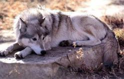 The Utonagan is a breed of dog that resembles a wolf, but in fact is a mix of three breeds of domestic dog: Alaskan Malamute,German Shepherd, and Siberian Husky.: Cas Dogs Wolf, Native American Indians, Dogs That Look Like Wolves, Beautiful Utonagan, Anim