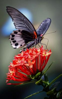 The very best of Rabbit Carrier's pins - Butterfly Feeding on red Flowers: Beautiful Butterflies, Google, Nature, Flutterby, Flower, Animal