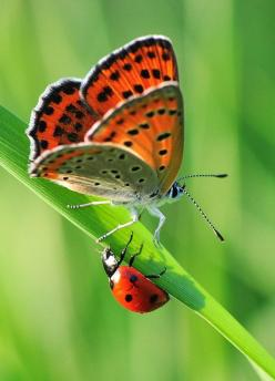 The very best of Rabbit Carrier's pins - ~~oh my god ~ butterfly meets lady bug by Yilmaz Uslu~~: Butterfly, Butterflies, Color, Ladybugs, Lady Bugs, Photo, Animal