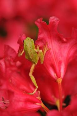 The Washington state Amphibian is the Pacific chorus frog, and just happens to be climbing among the Washington State Flower, in the blooms of the rhododendron~: Washington State, Pacific Chorus, State Amphibian, Frogs, Amphibians, Animal