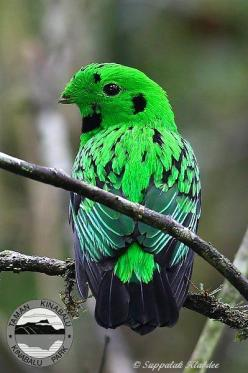 The Whitehead's Broadbill (Calyptomena whiteheadi) is a species of bird in the Eurylaimidae family. It is restricted to montane forest in northern Borneo.[2] It is the largest member of the genus Calyptomena. It is named after the British explorer Joh