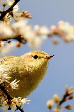 The Willow Warbler (Phylloscopus trochilus) is a very common and widespread leaf warbler which breeds throughout northern and temperate Europe and Asia, from Ireland east to the Anadyr River basin in eastern Siberia. It is strongly migratory, with almost