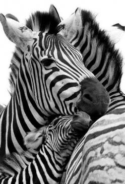 The zebra is a very social animal that lives in large groups called 'harems' ...  #zebra #safari #animals: Animals, Beautiful, Baby, Families, Photo, Zebras