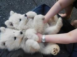 Their puppies look like little polar bears. | Undeniable Proof That Samoyeds Are Irresistible Dogs: Animals, Puppies, Polar Bears, Dogs, Samoyed, Pet, Polarbear, Puppys, Adorable