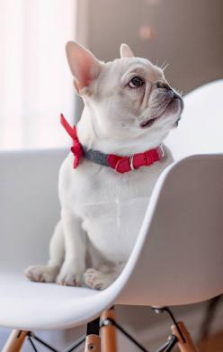 Theo, the French Bulldog❤️: Bulldogs Engelse Franse, French Bulldogs, Heart Frenchies, Fabulous Frenchies, Cream Frenchie, Bulldogs Love, Bulldogs ️ ️ ️ ️, Dogs Pets Animals