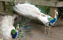 There are blue peacocks and white peacocks and sometimes there is a blue-white peacock. This is not an edited photo, but a freak of nature. It doesn't look freaky, on the contrary, it looks very special.: Photos, Nature, Beautiful Birds, White Peacock