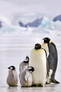 There is always that one in the family...in this case...two!: Animals, Penguinfamily, Funny, Penguins, Things, Families, Family Photo