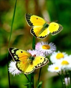 Therefore if any man be in Christ, he is a new creature: old things are passed away; behold, all things are become new.   2 Corinthians 5:17: Beautiful Butterflies, Nature, Yellow Butterflies, Flutterby, Flower